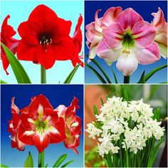 Bloomsz Economy Amaryllis (3) and Paper-White (12) Collection-05950 - The Home Depot