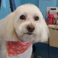 Bella #tucsondoggrooming #wagsmytail #doggroomer A well groomed dog is a well loved dog! Call us today to schedule your dog grooming appointment 520-744-7040