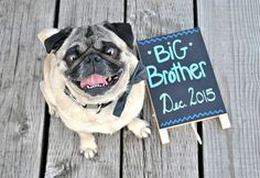 Our pregnancy announcement featuring our special pug son McQueen.
