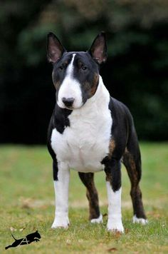 ~ SUCH A HANDSOME BULL TERRIER ~
