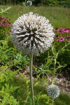 Echinops-tienschanicum-Solo-web.jpg 1280×1920 pixels