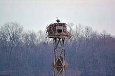 Seagull, squatting in the Andalusian ospreys' nest. In about two months, the raptors will be back to reclaim their home.