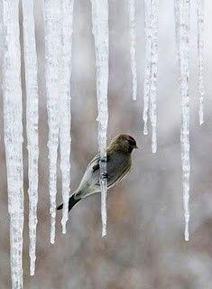 Icicle and winter bird I Love Winter, Winter Snow, Winter Fun, Winter Holiday, Winter White, Winter Season, Winter Schnee, Winter Magic, Winter's Tale