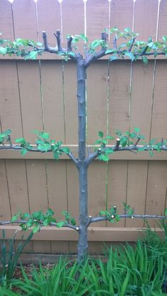 Espalier apple tree - great example of how little space a tree can occupy.