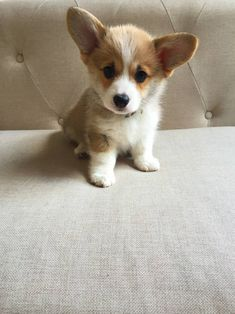 Visit our internet site for additional info on corgi. It is actually a superb area to learn more. Cute Corgi Puppy, Cute Dogs And Puppies, Little Puppies, Baby Dogs, Pet Dogs, Doggies, Welsh Corgi Puppies, Cute Dogs Breeds, Wiener Dogs
