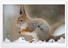 Squirrel In A Snowfall HD Wide Wallpaper for Widescreen