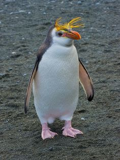 The Royal Penguin is a species of penguin, which can be found on the sub-Antarctic Macquarie Island and adjacent islands. The International Union for Conservation of Nature classifies the Royal penguin as vulnerable. Penguin Life, Penguin Species, Flightless Bird, Beautiful Birds, Black Tie, Great Artists, Conservation, Affair, Islands