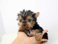 teacup yorkie puppies - Hledat Googlem #yorkshireterrier