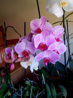 VLHČENÉ OBRÚSKY NA LISTY….. | Hura do záhrady Flora, Rose, Plants, Gardening, Orchids, Pink, Lawn And Garden, Plant, Roses
