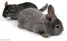 Chinchilla y Conejo enano.