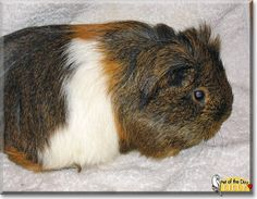 Read Lilly's story the Longhair Guinea Pig from Brandenburg, Germany and see her photos at Pet of the Day http://PetoftheDay.com/archive/2014/February/25.html .