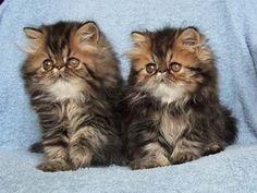 Brown Tabby Persian Kitties, how sweet <3