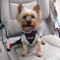 Clix® Car Safe Harness Dog Seat Belt is designed to be used in the car to ensure your dog is properly secured in the backseat and not distracting the occupants of the car. Yorkshire Macho, Yorkie Haircuts, Boy Haircuts, Dog Seat Belt, Dog Leg, Yorkshire Terrier Puppies, Dog Safety, Dog Diapers, Cat Behavior