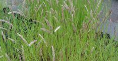 Melica ciliata op vasteplant.be