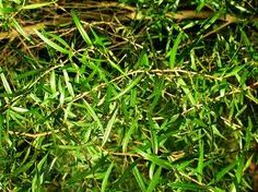 Tea Tree Essential Oil Uses & Treatments:  Blends With: Cinnamon, Clove, Cypress, Eucalyptus, Geranium, Lavender, Lemon, Lemongrass, Pine, Rosemary and Thyme.     Australian Aboriginies crush the leaves and use them to treat infected wounds and skin problems