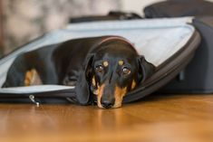 {please don't go} Elfi the doxie