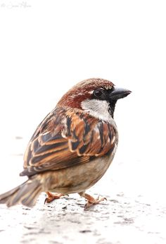 Italian Sparrow: Not a House Sparrow, not a Spanish Sparrow by Jesse Alveo