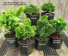 New Dwarf Hinokis  for the Miniature Garden #miniaturegarden #conifer