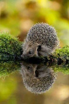 Egel. Week 3. Een prachtige foto van een egel met een scherp spiegelbeeld.