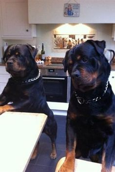 """Learn more details on """"rottweiler dogs"""". Browse through our site. Rottweiler Love, Rottweiler Puppies, Beagle, German Rottweiler, Cute Puppies, Cute Dogs, Dogs And Puppies, Doggies, Chihuahua Dogs"""