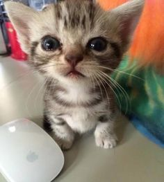 Awww, teeny tiny kitten has caught a mouse !!