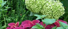 Incrediball hydrangea with red coleus