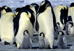 Antarctica Pictures of Baby Animals | Emperor Penguins are some of the animals you find in Antarctica.