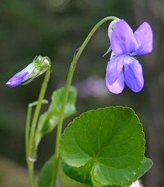 Metsäorvokki, Viola riviniana - Kukkakasvit - LuontoPortti
