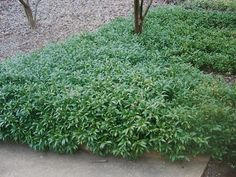 Sweetbox- Sarcococca    hookeriana var. 'humilis'  1-2' high- small shrub or groundcover. Extremely fragrant in Feb.