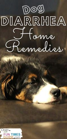 Need a dog diarrhea home remedy? These are the dog diarrhea home remedies that my vet recommends. See the one that works best for my dog. (Plus, how to know when dog diarrhea treatment requires a vet visit. Dog Diarrhea Remedy, Dog Has Diarrhea, Dog Safe Medicine, Vegan Dog Food, Dog Health Tips, Cat Health, Dog Illnesses, Cool Dog Houses, Dog Care Tips