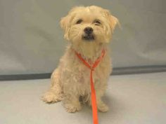 SAFE - 03/26/16 - POOKIE - #A1068377 - Urgent Manhattan - SPAYED FEMALE WHITE & TAN MALTESE 6 Yrs - OWNER SUR - EVALUATE, HOLD FOR ID Reason PET HELTH - Intake 03/24/16 Due Out 03/24/16