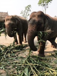 Elephants in Chiang Mai, Thailand. Visit Lanna Kingdom Elephant Sanctuary for an. - Elephants in Chiang Mai, Thailand. Visit Lanna Kingdom Elephant Sanctuary for an ethical no-ride ex - Chiang Mai Tailândia, Chiang Mai Thailand, Thailand Travel Tips, Visit Thailand, Thailand Honeymoon, Thailand Elephants, Elephant Sanctuary Thailand, Khao Lak, The Beautiful Country