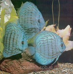 Symphysodon aequifasciata haraldi (Blue Discus)