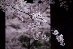 桜の名所の京都金戒光明寺の可愛い桜