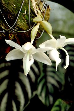 Stanhopea reichenbachiana   Flickr - Photo Sharing!