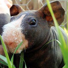 skinny pig hairless guinea pig