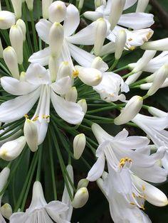 Flor de agapando vista de cerca. Majestuosa!!!