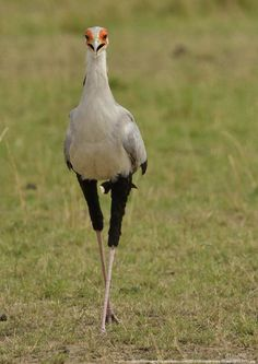 The Masai-mara is one of the variety of raptors that can be seen in at the Blyderivierspoort Nature Reserve.
