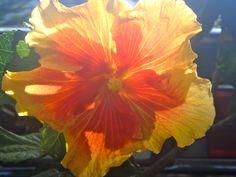 Hibiscus yellow orange