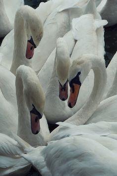 Pascal Silvain Arabatzis - Wild Swans https://www.flickr.com/photos/pascalarabatzis/10227852983
