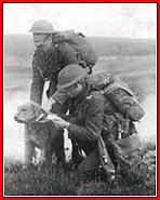 """K-9 History: WW I One Airedale, named Jack, purportedly saved a battalion from destruction by carrying a message through one-half mile of swamp. The artillery barrage that surrounded him broke his jaw and shattered his foreleg. But he persevered, delivered his message to headquarters and then fell dead. The battalion was relieved, and Jack was awarded a posthumous Victoria Cross for """"Gallantry in the Field."""""""