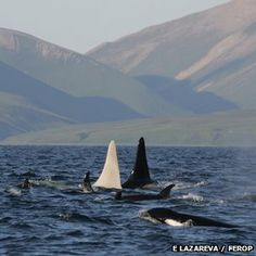 Scientists have made what they believe to be the first sighting of an adult white orca, or killer whale, off the coast of Kamchatka in eastern Russia. They've nicknamed him Iceberg.