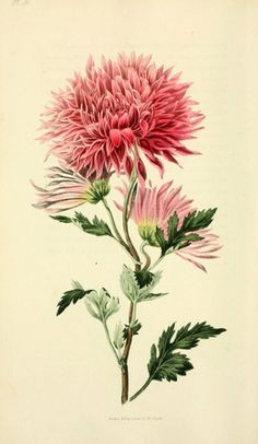 heaveninawildflower:  n215_w1150 by BioDivLibrary on Flickr. Flora conspicua London :Longman, Rees, Orme, Brown, and Green,1826. biodiversitylibrary.org/page/7372210