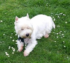 Just a Westie and the daisies