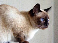 siamese cat   Siamese Cats