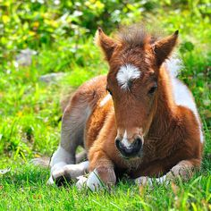 Sweet foal laying in the soft green grass.