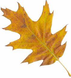oak leaf - Google Search