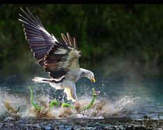 Eagle Catches a Snake HD Wallpaper | Wallsev.com - Download Free