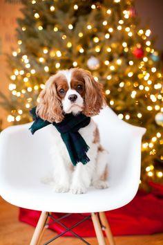 Christmas Cavalier King Charles Spaniel