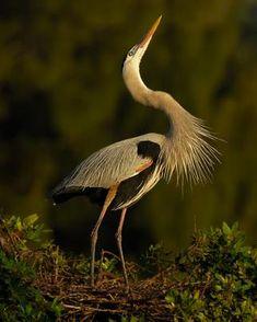 Great Blue Heron - Whatbird.com